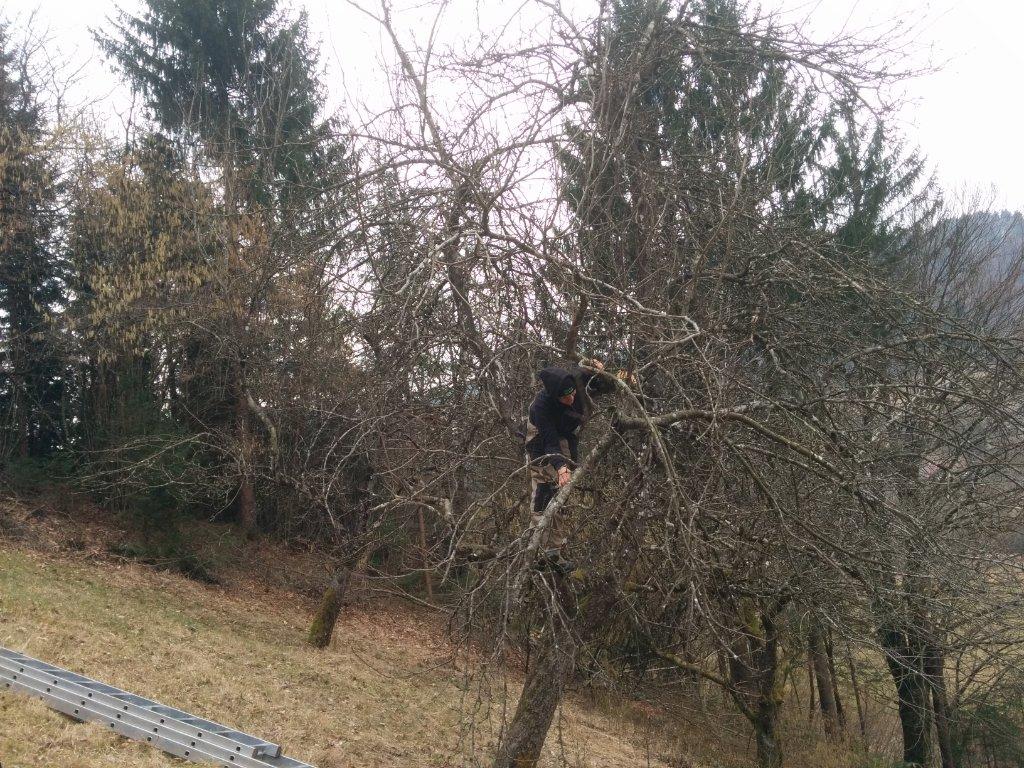 miha-obrezuje-staro-drevo_0